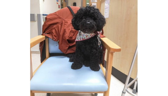 Bella the Pets as Therapy dog doing rounds on the ward