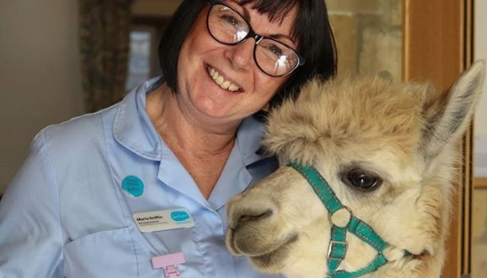 Cosmo the alpaca with a smiling Sue Ryder Nurse