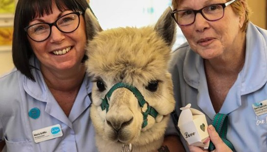 Cosmo the alpaca with Nurses