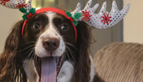 Marley the spaniel as Rudolph the red-nosed reindeer