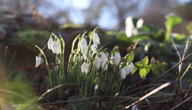 Snowdrops growing in Leckhampton Court's gardens