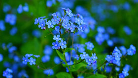 Some forget-me-not flowers